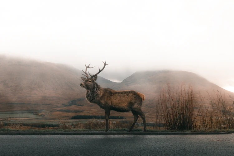 Deer standing in front of mountains by road